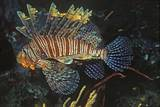 Common Lionfish Photographic Print by Hal Beral