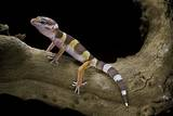Eublepharis Macularius F. Albino (Leopard Gecko) Reproduction photographique par Paul Starosta
