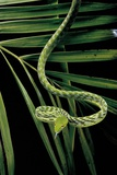 Ahaetulla Prasina (Asian Long-Nosed Tree Snake) Photographic Print by Paul Starosta