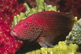 Leopard Grouper Photographic Print by Hal Beral