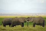 Kenya, Amboseli National Park, Elephant Kissing Photographic Print by Anthony Asael