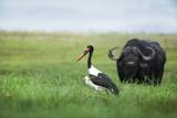 Saddlebilled Stork and Buffalo, Botswana Photographic Print by Richard Du Toit