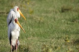 Kenya, Lake Nakuru National Park, Yellow-Billed Stork, Mycteria Ibis Photographic Print by Anthony Asael