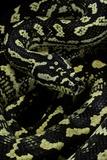 Morelia Spilota Cheynei (Jungle Carpet Python) Photographic Print by Paul Starosta