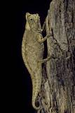 Brookesia Superciliaris (Brown Leaf Chameleon) Photographic Print by Paul Starosta