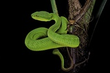 Trimeresurus Albolabris (White-Lipped Tree Viper) Photographic Print by Paul Starosta