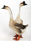 Chinese Geese Photographic Print by Robert Dowling