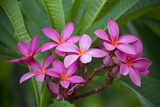 Pink Plumeria, also known as Frangipani, Hawaii Photographic Print by Ron Dahlquist