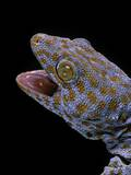 Gekko Gecko (Tokay Gecko) Reproduction photographique par Paul Starosta