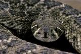 Crotalus Atrox (Western Diamondback Rattlesnake) Photographic Print by Paul Starosta