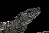 Hydrosaurus Weberi (Salfin Dragon) Photographic Print by Paul Starosta