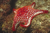 Panamic Cushion Star Photographic Print by Hal Beral