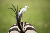 Zebra and Egret, South Africa Photographic Print by Richard Du Toit
