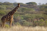 Kenya, Laikipia, Il Ngwesi, Reticulated Giraffe in the Bush Photographic Print by Anthony Asael