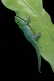 Phelsuma V-Nigra (Indian Day Gecko) Photographic Print by Paul Starosta