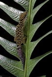 Cyrtodactylus Peguensis (Thai Bow-Fingered Gecko) Reproduction photographique par Paul Starosta