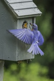 Eastern Bluebird Photographic Print by Gary Carter