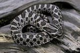 Heterodon Nasicus (Western Hog-Nosed Snake) - Young Photographic Print by Paul Starosta