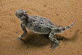 Phrynosoma Platyrhinos (Desert Horned Lizard) Photographic Print by Paul Starosta
