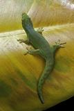 Phelsuma Guimbeaui (Maurisius Day Gecko) Photographie par Paul Starosta
