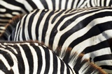 Kenya, Amboseli National Park, close up on Zebra Stripes Photographic Print by Anthony Asael