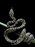 Morelia Spilota Variegata (North-Western Carpet Python) Fotografisk tryk af Paul Starosta