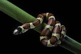 Lampropeltis Mexicana (Mexican Kingsnake) Photographic Print by Paul Starosta