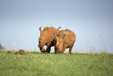 White Rhinocerous, South Africa Photographic Print by Richard Du Toit