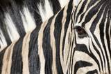 Zebra Eye, South Africa Reproduction photographique par Richard Du Toit