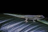Phelsuma Ornata Ornata (Ornate Day Gecko) Photographie par Paul Starosta