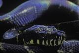 Morelia Boeleni (Black Python) Fotografisk tryk af Paul Starosta