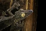 Uroplatus Fimbriatus (Giant Leaf-Tailed Gecko) Photographie par Paul Starosta