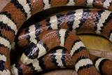 Lampropeltis Pyromelana Woodini (Sonoran Mountain Kingsnake) Photographic Print by Paul Starosta