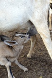 Kenya, Laikipia, Il Ngwesi, Goat Feeding Her Baby Photographic Print by Thibault Van Stratum