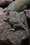Phrynosoma Modestum (Roundtailed Horned Lizard) Papier Photo par Paul Starosta