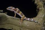 Eublepharis Macularius F. Albino (Leopard Gecko) Photographic Print by Paul Starosta