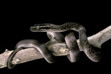 Lamprophis Fuliginosus (Brown House Snake) Photographic Print by Paul Starosta