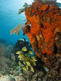 Technical Diver on Coral Reef. Photographic Print by Stephen Frink