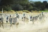 Kenya, Amboseli National Park, Zebras Running in the Dust Photographic Print by Thibault Van Stratum