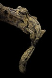 Uroplatus Henkeli (Flat-Tailed Gecko) Photographic Print by Paul Starosta