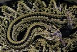 Crotalus Durissus Durissus (Cascabel Rattlesnake) Photographic Print by Paul Starosta