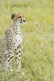 Kenya, Masai Mara National Reserve, Cheetah Alert in the Savanna Ready to Chase for a Kill Photographic Print by Thibault Van Stratum
