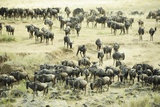 Kenya, Masai Mara National Reserve, Zebras and Wildebeests Ready for the Great Migration Photographic Print by Anthony Asael