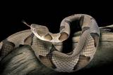 Agkistrodon Contortrix (Copperhead) Photographic Print by Paul Starosta