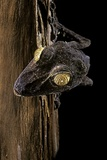 Uroplatus Fimbriatus (Giant Leaf-Tailed Gecko) Photographic Print by Paul Starosta