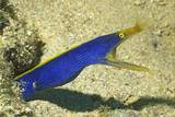 Blue Ribbon Eel Photographic Print by Hal Beral