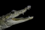Crocodylus Moreletii (Morelet's Crocodile) Photographic Print by Paul Starosta