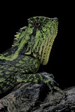 Gonocephalus Kuhlii (Hump-Beaded Dragon) Photographic Print by Paul Starosta