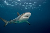 Caribbean Reef Shark (Carcharhinus Perezi) Photographic Print by Stephen Frink