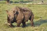 Kenya, Lake Nakuru National Park, White Rhinoceros or Square-Lipped Rhinoceros (Ceratotherium Simum Photographic Print by Anthony Asael
